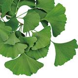 【Tips】30種類以上のフラボノイドを含む「イチョウ葉」