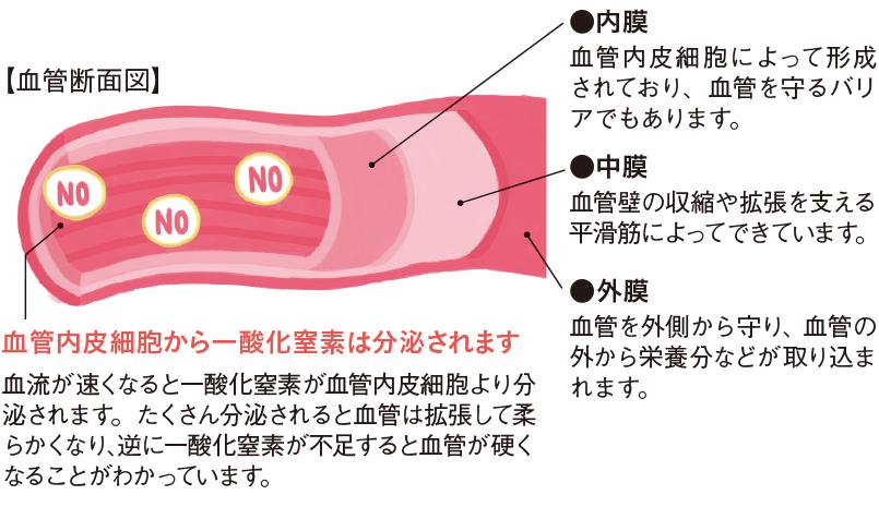 血管 一 酸化 窒素